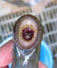 adulte, pacifique, lamproie, de la bouche, des dents, modèle