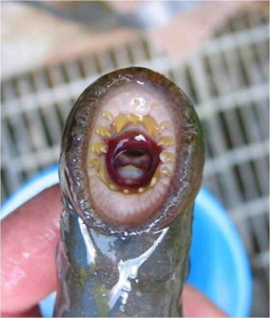 adulti, Pacifico, lampreda, bocca, denti, modello