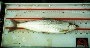least, cisco, coregonus, sardinella