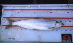 co najmniej, cisco, ryby, coregonus sardinella