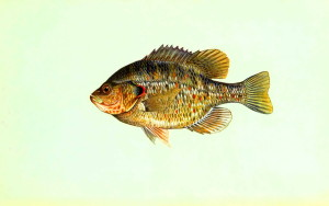 lepomis microlophus, reader, sunfish, fish