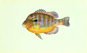 longear, sunfish, lepomis megalotis