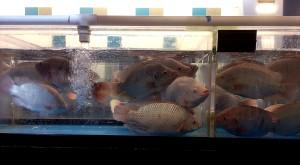 시장, 신선한 생선, 부서, 특정, 케이스, 포함 된, 생활, tilapia