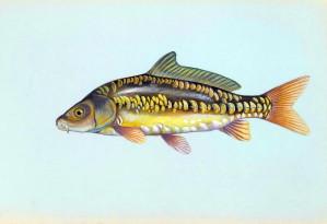 miroir, la carpe, le poisson, cyprinus, carpio