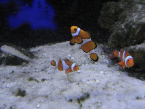 nemo fishes, underwater, saltwater fishes, animals