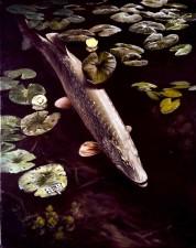 northern pike, fish, underwater, esox, lucius, linnaeus