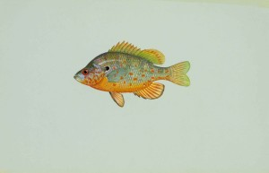 orange, spotted, sunfish, lepomis humilis