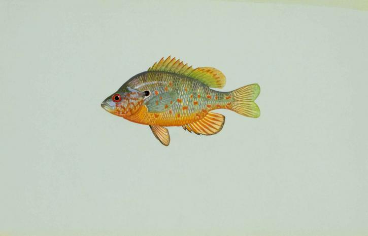 orange, spotted, sunfish, lepomis humilis