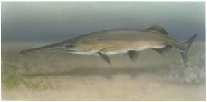 paddlefish, underwater, photography, polyodon, spathula