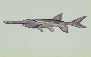 paddlefish, underwater, polyodon, spathula