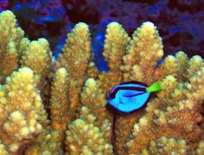 Paracanthurus, hepatus, corail, récif, poissons