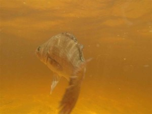 perche, poissons, sous-marin, perca, fluviatilis