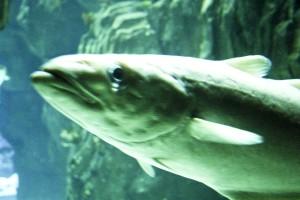 csuka, hal, víz alatti