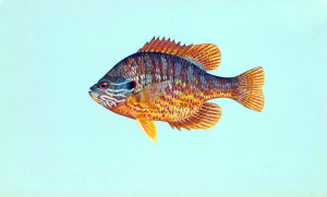 pumpkinseed, fish, lepomis gibbosus