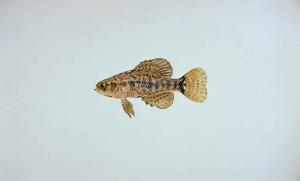 pigmeu, sunfish, elassoma