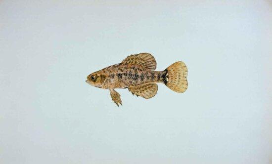 pygmy, sunfish, elassoma