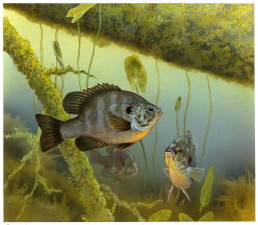 redear, sunfish, lepomis microlophus