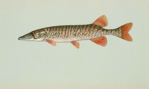 Redfin, Pickeral, poissons, Esox, Americanus, Americanus