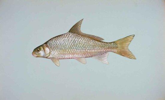 river, carpsucker, fish, carpoides, carpio