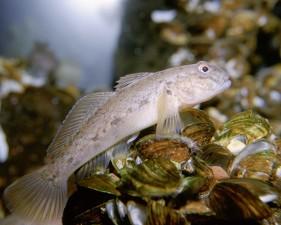 rond, gobie, poissons, Neogobius, melanostomus