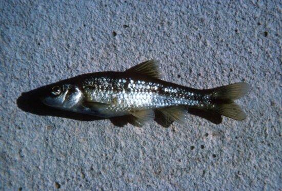 roundnose, minnow, fish