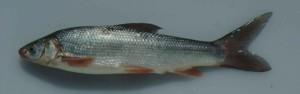 Sacramento, splittail, peixe