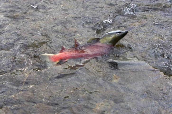 kifejlett halak, spawn, sekély vízben, lazac hal