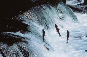 felnőtt sockeye lazac, enwaterfall, út, folyó, spawn