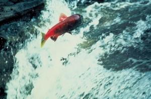 alaska, le saumon, le saut, l'eau