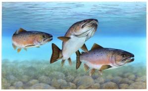 Atlantic salmon, Atlantic, fish