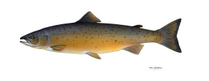 Atlantic salmon, fish