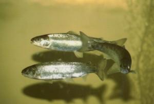 Atlantischen Lachs, smolts