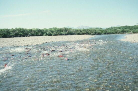 becharof, creek, spawning, salmon