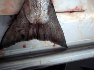 king, salmon, chinook, salmon, tail, oncorhynchus, tshawytscha