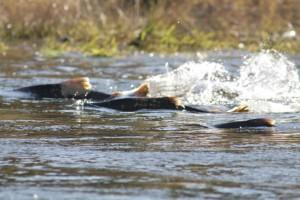 oncorhynchus, tschawytscha, chinook, saumon, poissons, rivière