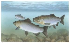 pacific, salmon, fish, underwater, oncorhynchus