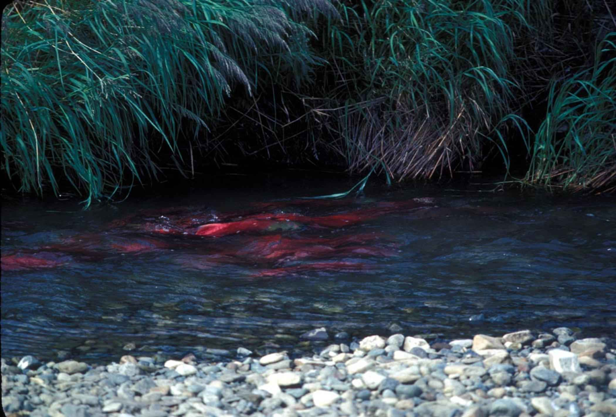 Free Picture Red Salmon Sockeye Salmon Spawning Bed