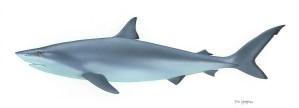 shark, fish, chondrichthyes