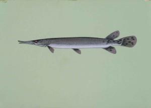 shortnose, fish, lepisosteus, platostomus