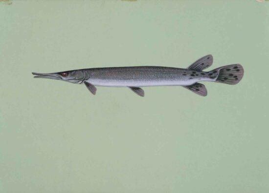shortnose, fish, lepisosteus, platostomus, gar, ganoid, aircraft