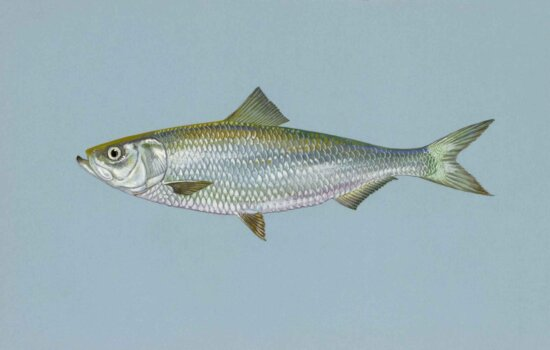 skipjack, herring, fish, alosa chrysochloris