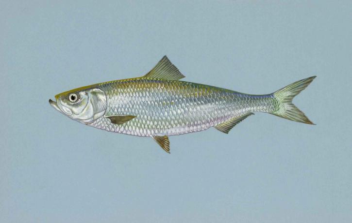 bonite, le hareng, le poisson, alosa chrysochloris