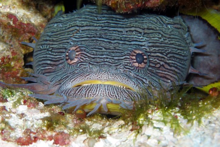 splendid, toadfish