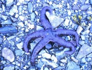 starfish, rocky, beach
