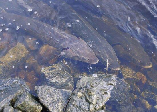 strugeon, fish, water, acipenser, fulvescens