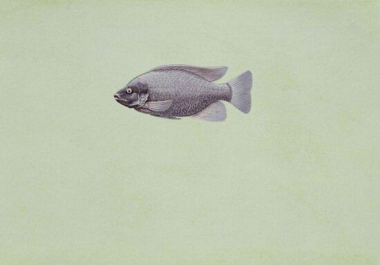 tilapia, oreochromis, niloticus, fish