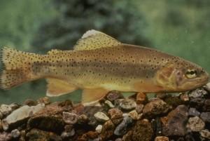 trout, fish, salmo, apache