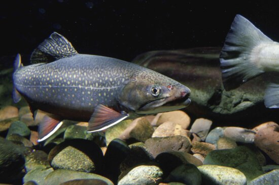 brook, trout, freshwater, fish, salvelinus, fontinalis