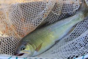 gila, trout, fish, net