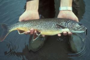 lake, trout, fish, hands, salvelinus, namaycush